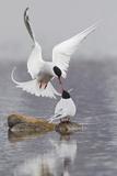 Arctic Terns, Courtship Fotografisk trykk av Ken Archer