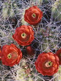 California, Joshua Tree National Park, Claret Cup Cactus Wildflowers Fotografisk trykk av Christopher Talbot Frank