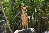 Australia, Northern Territory, Darwin. Territory Wildlife Park. Dingo Fotografisk tryk af Cindy Miller Hopkins