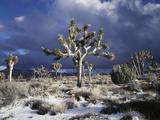 California, Joshua Tree National Park, Mojave Desert, Snow Covered Joshua Tree Fotografie-Druck von Christopher Talbot Frank
