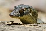 Australia, Territory Wildlife Park. Mertens Water Monitor Reproduction photographique par Cindy Miller Hopkins