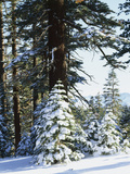 California, Sierra Nevada, Inyo Nf, Snow Covered Red Fir Trees Trees Fotografie-Druck von Christopher Talbot Frank