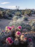 California, Anza Borrego Desert Sp, Calico Cactus, Flowers Fotografisk trykk av Christopher Talbot Frank
