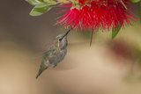 Annas Hummingbird in Flight. Sipping Nectar from a Bottle Brush Reproduction photographique par Michael Qualls