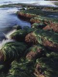 California, San Diego, Waves Crash on Eel Grass Covered Rocks Fotografie-Druck von Christopher Talbot Frank