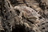 Arizona, Madera Canyon. Close Up of Regal Horned Lizard Reproduction photographique par Jaynes Gallery