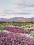 California, Anza Borrego Desert Sp, Sand Verbena in the Desert Fotografisk trykk av Christopher Talbot Frank
