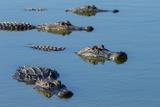 American Alligators at Deep Hole in the Myakka River, Florida Fotografie-Druck von Maresa Pryor