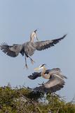 Calhoun County, Texas. Great Blue Heron, Ardea Herodias, Displaying Reproduction photographique par Larry Ditto