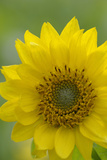 Canada, B.C, Vancouver Island. Deltoid Balsamroot Photographic Print by Kevin Oke