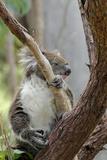 Australia, Perth, Yanchep National Park. Koala Bear a Native Arboreal Marsupial Fotografie-Druck von Cindy Miller Hopkins