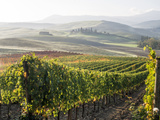 Europe, Italy, Tuscany. Autumn Vineyards in Bright Colors Fotografisk tryk af Julie Eggers