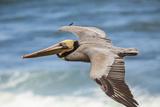 Brown Pelican Soaring. La Jolla Cove, San Diego Reproduction photographique par Michael Qualls