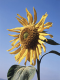 California, a Mammoth Sunflower, Helianthus, in Spring Valley Fotografisk trykk av Christopher Talbot Frank