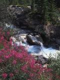 Banff National Park, Mountain Wildflowers Along a Stream Fotografisk trykk av Christopher Talbot Frank