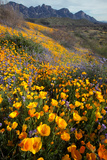 Mexican Poppies and Lupine Bloom in Catalina Sp, Tucson, Arizona Reproduction photographique par Susan Degginger