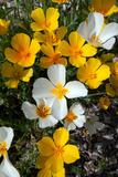 White Poppies Bloom in the Sonoran Desert, Tucson, Arizona Photographic Print by Susan Degginger