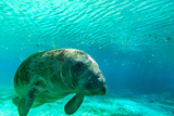 Manatee Swimming in Clear Water in Crystal River, Florida Lámina fotográfica por James White