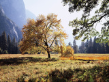 California, Sierra Nevada, Yosemite National Park, Fall Colors of a Black Oak Fotografisk trykk av Christopher Talbot Frank