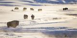 Wyoming, Yellowstone National Park, Bison Herd Along Alum Creek in Winter Reproduction photographique par Elizabeth Boehm