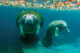 Mother Manatee with Her Calf in Crystal River, Florida Lámina fotográfica por James White