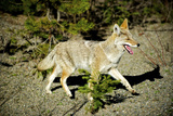 A Coyote, Searches for Prey in the Cariboo Mts of B.C., Canada Fotografie-Druck von Richard Wright