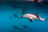 Pod of Dusky Dolphins Off of Kaikoura, New Zealand Reproduction photographique par James White