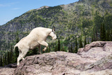 Mountain Goat Climbing Rocks in Glacier National Park, Montana Lámina fotográfica por James White