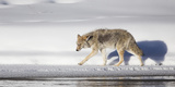 Wyoming, Yellowstone National Park, Coyote Walking Along Madison River Reproduction photographique par Elizabeth Boehm