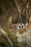 Barred Owl Chick in Nest Cavity in an Oak Tree Hammock, Florida Fotoprint van Maresa Pryor