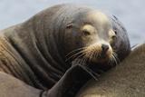 California Sea Lion Resting Lámina fotográfica por Ken Archer