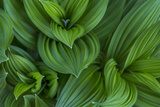 Corn Lily Aka False Hellebore in Glacier National Park, Montana, USA Photographic Print by Chuck Haney
