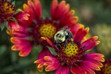 Close Up of Bumblebee with Pollen Basket on Indian Blanket Flower Photographic Print by Rona Schwarz