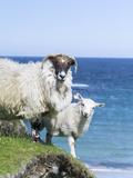 Scottish Blackface on the Isle of Harris, Scotland Fotografie-Druck von Martin Zwick