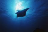 Mania Ray, Manta Alfredi, Island of Yap, Micronesia Reproduction photographique par Stuart Westmorland