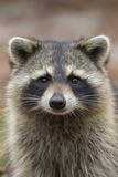 Raccoon, Procyon Lotor, Florida, USA Lámina fotográfica por Maresa Pryor
