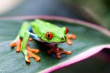 Red Eyed Tree Frog, Agalychnis Callidryas, Costa Rica Lámina fotográfica por Susan Degginger