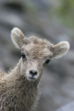 Rocky Mountain Bighorn Sheep Lamb Lámina fotográfica por Ken Archer