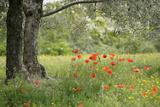 France, Vaucluse, Lourmarin. Poppies under an Olive Tree Fotografie-Druck von Kevin Oke