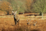 The Kings Deer, Red Deer Stags of Richmond Park, London, England Reproduction photographique par Richard Wright
