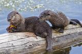 Wyoming, Yellowstone National Park, Northern River Otter Pups Eating Trout Fotografie-Druck von Elizabeth Boehm