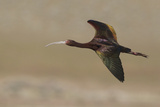 White Faced Ibis in Flight Reproduction photographique par Ken Archer