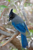Stellers Jay, Cyanocitta Stelleri, Arizona Reproduction photographique par Susan Degginger