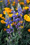 Spring Wildflowers in Bloom in the Sonoran Desert, Tucson, Arizona Fotografisk trykk av Susan Degginger
