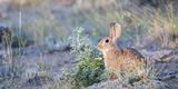 Wyoming, Sublette County, Nuttalls Cottontail Rabbit Reproduction photographique par Elizabeth Boehm