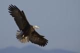 Águila calva Lámina fotográfica por Ken Archer