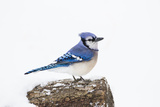Wichita County, Texas. Blue Jay, Cyanocitta Cristata, Feeding in Snow Reproduction photographique par Larry Ditto