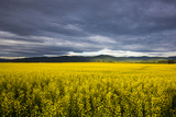 Canola Field in Morning Light in the Flathead Valley of Montana, USA Photographic Print by Chuck Haney