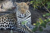 Close Up Leopard Portrait Sitting Photographic Print by Sheila Haddad