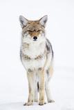USA, Wyoming, Yellowstone National Park, Coyote in Snow Fotografie-Druck von Elizabeth Boehm